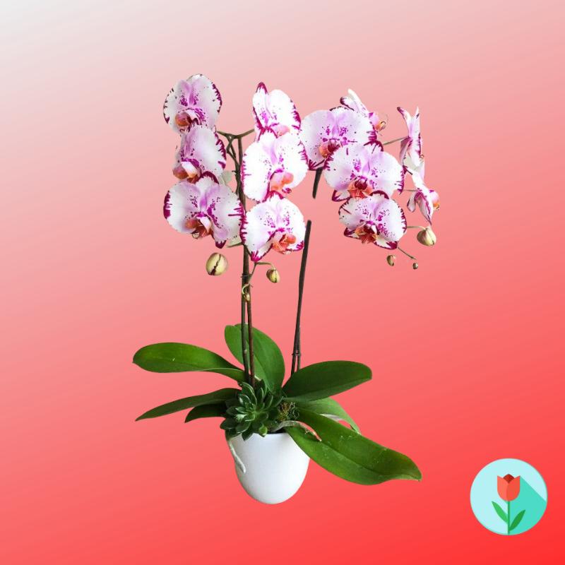 orquidea phalaenopsis dos ramas