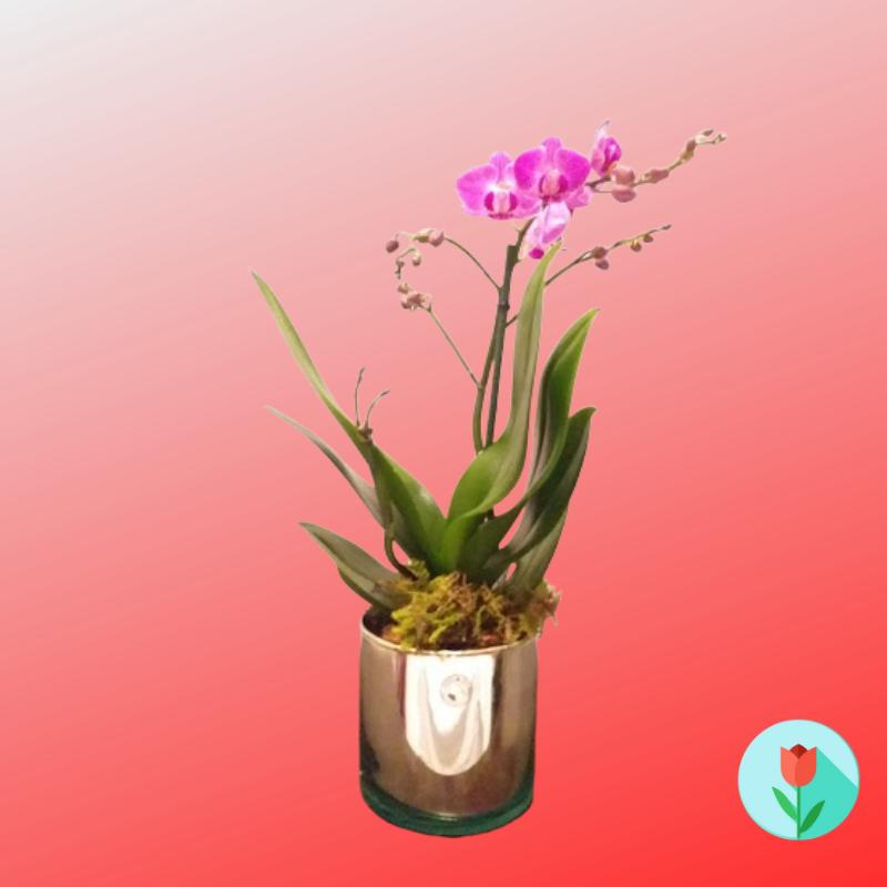 orquidea phalaenopsis chica